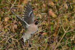 HNS_0844 Pestvogel : Jaseur boreal : Bombycilla garrulus : Seidenschwanz : Bohemian Waxwing