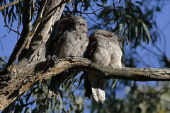 Tawny Frogmouths (blachswan) Tags: tawnyfrogmouths tawnyfrogmouth frogmouth podargusstrigoides gum gumtree eucalyptus stringybark twoowls