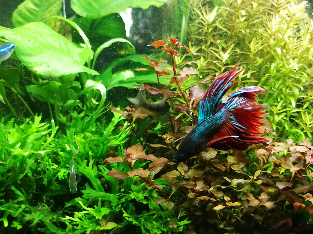 The world 39 s best photos of betta and pet flickr hive mind for Betta tropical fish