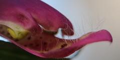 Digitalis (Poisonous) Macro Mondays (francepar95) Tags: macromondayspoisonous digitalis digitale fleur toxique poison foxglove hmm plant