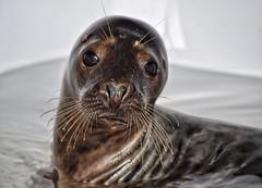 'Sad Seal' (nikkigeorge1) Tags: seal sealife water mammal animal sad rescue sealion sealsanctuary curracloe wexford ireland