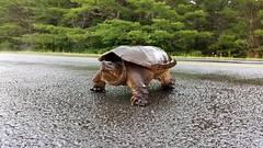 Snapping Turtle (TheNovaScotian1991) Tags: snappingturtle kejimkujiknationalpark merseyriver grass road rain wet samsunggalaxys6edge novascotia canada
