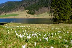 Krokusse (Oberau-Online) Tags: geroldsee