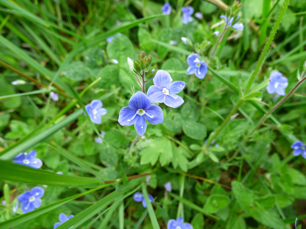 The worlds most recently posted photos of flower and speedwell tiny blue lexies mum tags walks walking walkingthedog spring sun nature flower speedwell izmirmasajfo