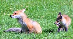 DSC_0761 (rachidH) Tags: fox renard vulpes foxcub renardeau redfox renardroux vulpesvulpes backyard frontyard wildlife sparta newjersey nj rachidh nature