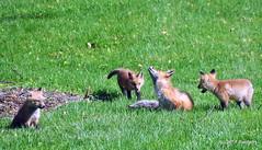 DSC_0762 (rachidH) Tags: fox renard vulpes foxcub renardeau redfox renardroux vulpesvulpes backyard frontyard wildlife sparta newjersey nj rachidh nature