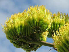agave blooms (hounddiggity) Tags: newmexico albuquerque centuryplant yellow blossom