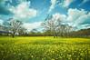 Spring breath 高知 四万十市 菜の花 3 14 2015 (tsake123) Tags: none sony alpha nex5n nex sky spring c1 cloud flower 高知 四万十市 四万十川 菜の花 sonyflickraward
