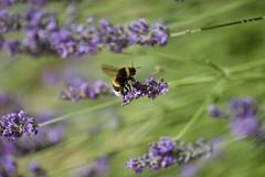Décollage du bourdon (benjamin urbain) Tags: macro extérieur nature fleur lavande insectes d3300 bourdon