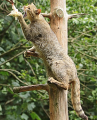 european wild cat anholt BB2A2508 (j.a.kok) Tags: kat cat europesewildekat europeanwildcat wildekat wildcat anholt animal europe europa mammal zoogdier dier feline