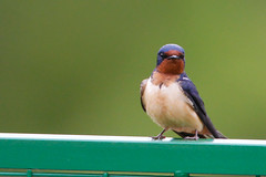 _53F9305 Barn Swallow (~ Michaela Sagatova ~) Tags: barnswallow birdphotography canonphotography michaelasagatova swallow