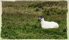 Sheep _7020068 (Jonathan Irwin Photography) Tags: sheep resting north yorkshire moors produced using jixipix