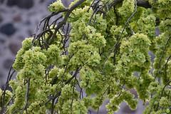 Frilled tree (petrOlly) Tags: europe europa poland polska polen torun toruń thorn tree trees nature natura przyroda