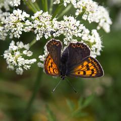 Natureza / Nature (Francisco (PortoPortugal)) Tags: 1392017 20170505fpbo5582 flor flower borboleta butterfly primavera spring square quadrada porto portugal portografiaassociaçãofotográficadoporto franciscooliveira