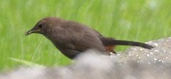 Indian Robin - Male