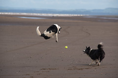 "25/52 ""The ball is coming up ... surely..!?"" (JJFET) Tags: 25 52 weeks for dogs elk border collie flight jumping dog sheepdog colloie"