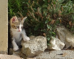 une patte de 6 semaines sur 140 millions d'années (b.four) Tags: cat chaton kitten fossile fossil empreintedammonite cagnessurmer alpesmaritimes chatte gattina ruby3 ruby10