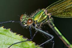 Damsel (Shane Jones) Tags: damsel damselfly insect compoundeye bug wildlife nature nikon d7200 tamron180mmmacro pk3extensiontube pk3x2 macro macrolife macrophotosnolimits macrolicious macromarvels