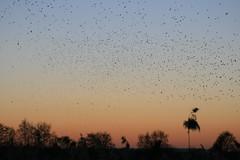 Murumuration, Ham Wall (Odd Wellies) Tags: hamwall murmuration starlings