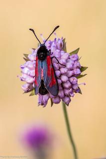 Tymianwidderchen | Zygaena purpuralis