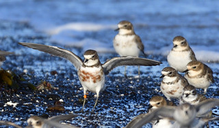 Double-banded Plovers - Touchdown!