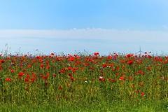 poppies (Matthieu Verhoeven - Photographer -) Tags: matthieu verhoeven fotografie nikon d3s poppies klaprozen landschap landscape blue red blauw rood lucht flowers bloemen