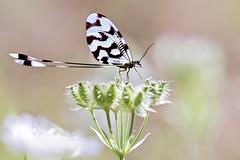Nemoptera - die Fadenhafte (sylviafurrer) Tags: netzflügler nemopterasinuata bulgarien bulgaria wildlife