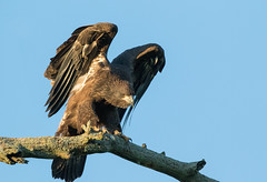 "Fledged Chick ""EXPLORED"" 07.07.17 #261 (Mike Bader) Tags: ohiobirds ohioeagles americanbaldeagle baldeagle eagles raptor avian avianphotography birds birdsofprey birdphotography"