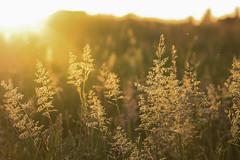 Summer Grass (A Costigan) Tags: sunlight grass meadow bokeh canon eos light golden summer