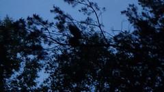 Juvenile owl crying in the night. (Asio otus) (Zatanen) Tags: asiootus hornuggla sarvipöllö longearedowl waldohreule uggla pöllö owl juvenile uil bufopequeno buho skovhornugle ugle hiboumoyenduc raptor rapaz petolinnut rovfåglar birdsofprey rovfugler rapace babyowl fukuro raubvogel