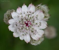 Also Astrantia (kimbenson45) Tags: dof astrantia closeup differentialfocus flower green macro nature outdoors pattern petals pink plant shallowdepthoffield white