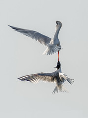 Fighting Terns (just4memike) Tags: bird feather fighting flight sky soaring tern water wildlife wing canon 500 l ii is f4 7d mark ef f40