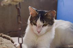 Miradas (Tato Avila) Tags: colombia gato cat felinos miradas bigotes hocico orejas ojos peludo animal colores cálido texturas tolima cadenas