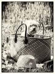 betrapt    |     caught in the act (EdRocket) Tags: dog hond tica hollandse schmaus schmautzer portrait france zwartwit bw black white smous
