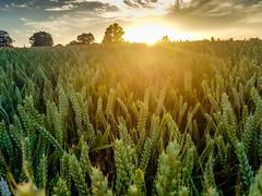 Bright corn (Tony_Brasier) Tags: ospringe england unitedkingdom gb samsung s7 faversham flickr fun farm fields corn grass golden bluesky sun night kent