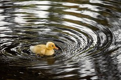 Waves. (jorgemaktub) Tags: naturaleza pato estanque murcia anade canon duck