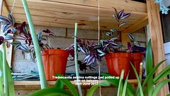 Tradescantia zebrina cuttings just potted up now on balcony 26th June 2017 (D@viD_2.011) Tags: tradescantia zebrina cuttings just potted up now balcony 26th june 2017