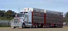 Swan Hill Abs (quarterdeck888) Tags: trucks transport semi class8 overtheroad lorry heavyhaulage cartage haulage bigrig jerilderietrucks jerilderietruckphotos nikon d5200 frosty flickr quarterdeck quarterdeckphotos roadtransport highwaytrucks australiantransport australiantrucks aussietrucks heavyvehicle express expressfreight logistics freightmanagement outbacktrucks truckies kenworth t909 t904 stockcrate bdouble bdoublestockcrate livestock livestocktransport australianstocktransport livestocktransportaustralia squaretanks