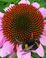 All mine (ArtGordon1) Tags: bee flower flowers petals stamen walthamstow london england uk davegordon davidgordon daveartgordon davidagordon daveagordon artgordon1 insect