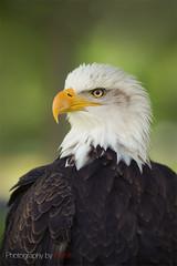 Portrait of bald eagle (Photography by Ramin) Tags: bald eagle bird ottawa portrait canada feathers