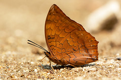 Charaxes marmax - the Yellow Rajah (BugsAlive) Tags: butterfly mariposa papillon farfalla schmetterling бабочка conbướm ผีเสื้อ animal outdoor insects insect lepidoptera macro nature nymphalidae charaxesmarmax yellowrajah charaxinae wildlife doisutheppuinp chiangmai liveinsects thailand thailandbutterflies ผีเสื้อม้าแดงสามจุด
