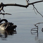 Black swan and curved branch. thumbnail
