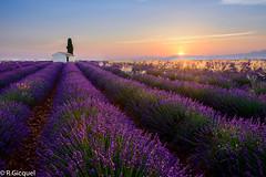 Lavender fields (Valensole) (renan4) Tags: sunrise sun provence lavender lavande france europe landscape dream flowers fields trip purple blue morning nikon d800 1635mm renan gicquel renan4 valensole manosque