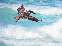 Pelícano café, Brown pelican (Pelicanus occidentalis) (L.M de Ciria) Tags: pelican pelícano café cancún méxico quintana ave mar atlántico caribe océano birding birdwatching playa beach maya península