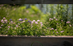 through the fence HFF (Dotsy McCurly) Tags: fence flowers wildflowers water park beautiful nature bokeh light shadows nikond750 105mmmacro newjersey hff happyfencefriday 7dwf flora