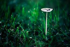 Dur reveil (Kevin STRAGLIATI) Tags: rosée herbe foret aube nuit champignon pluie ngc