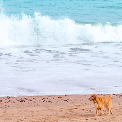 aberdeen-beach (ChicqueeCat) Tags: pet animal beach water sea nikon d3300 dog
