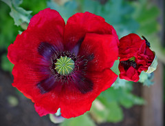 Poppy (wariafer) Tags: poppy amapola garden gardering blooming flower flores flor florecer red papaver flowerpower