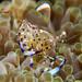 Translucent Shrimp
