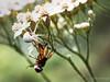 La morte in diretta (Giovanni Bertagna Alfredo) Tags: color nature flower floral tree summer closeup leaf season insect garden little bee flora death honey outdoors wild pollen pollination no person spider immobilized